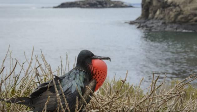 Un equipo de investigadores ha medido la actividad cerebral del ave 'Fragata'.