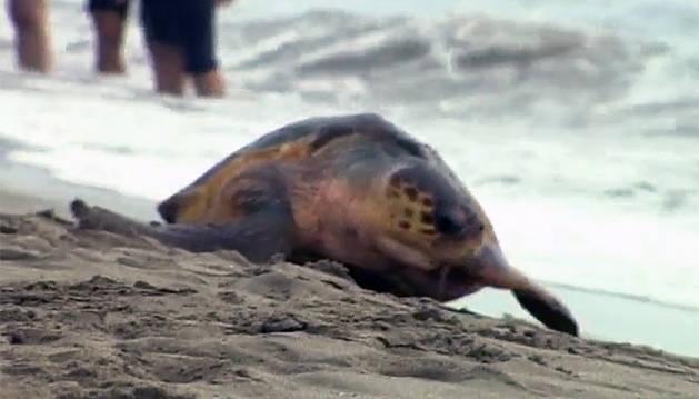 Una imagen de la tortuga que ha desovado en la costa alicantina.