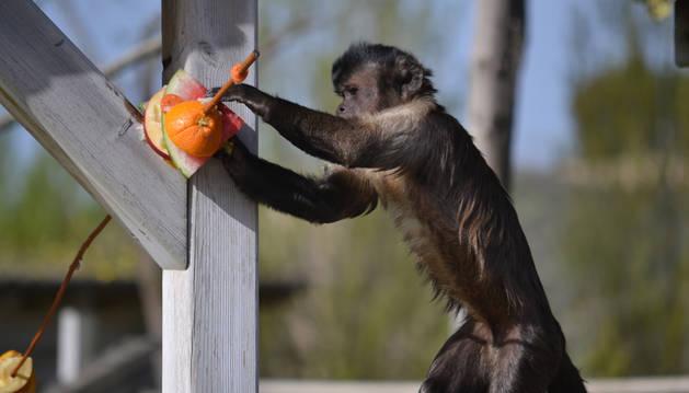 Un mono capuchino de Sendaviva con una brocheta de fruta helada.