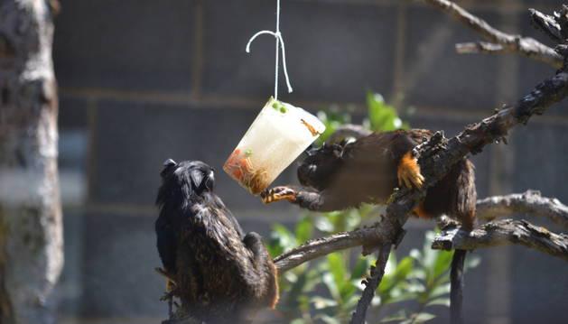 Dos monos titís disfrutan de su helado de gusanos.