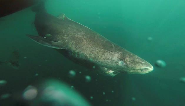 Un tiburón de Groenlandia se aleja de un barco de investigación, volviendo a aguas profundas.