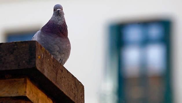 Imagen de una paloma en Estella.