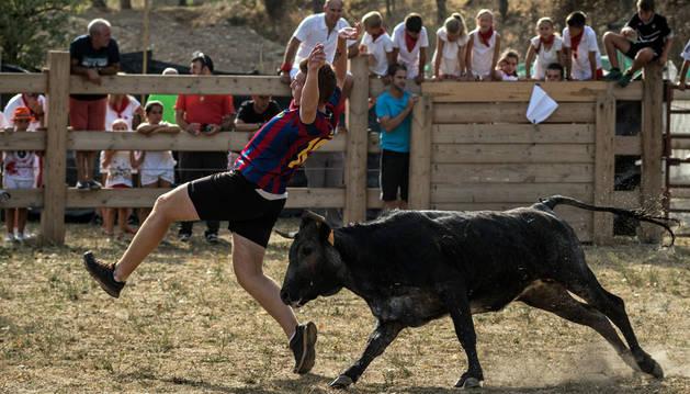 Un joven recorta a una vaca de la ganadería Bretos Fernández en las fiestas de Aibar.