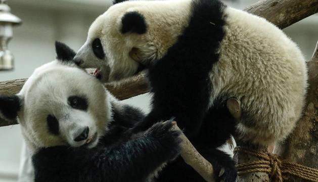 Aniversario de los pandas de Kuala Lumpur (Malasia)