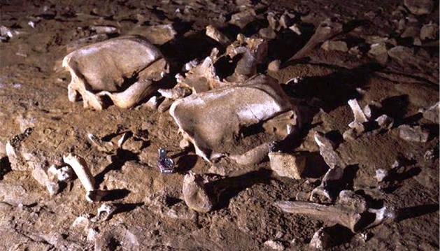 La dieta vegetariana de los osos de las cavernas les llevó a la extinción