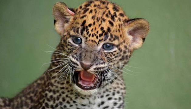 Imagen de la cría de leopardo de Sri Lanka.