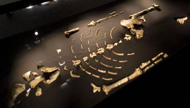 Fósiles del esqueleto reconstruido del Austrolopithecus afarensisi conocido como Lucy.