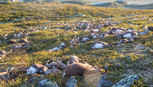 Renos salvajes muertos en Noruega alcanzados por un rayo.