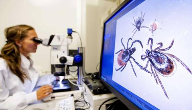 Una científica estudia varias garrapatas, transmisoras de la fiebre hemorrágica.