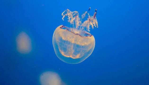 Un ejemplar de medusa.
