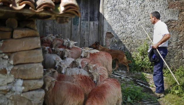 En el caserío Berdezuri, de Amaiur, el pastor alecciona a su perra en  la recogida de ovejas.
