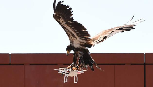 Un águila entrena para atrapar drones.
