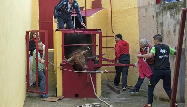 Espectáculo del toro ensogado en Lodosa durante las fiestas en honor de la Vírgen de las Angustias.