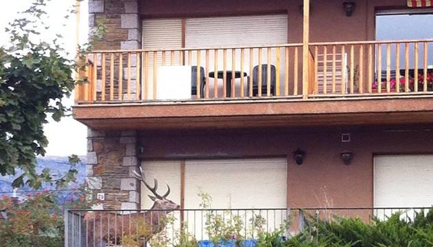 Un ciervo se refugia en un balcón huyendo de los cazadores en Cataluña