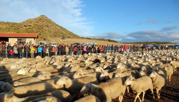 Un rebaño se adentra en Bardenas ante la atenta mirada de los espectadores que se dieron cita ayer en el paraje de El Paso.