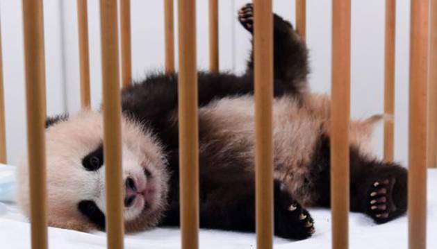 Otro de los ejemplares de panda nacido hace tres meses en Bélgica.