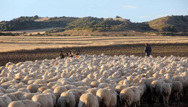 Entradas de los rebaños de ovejas a las Bardenas