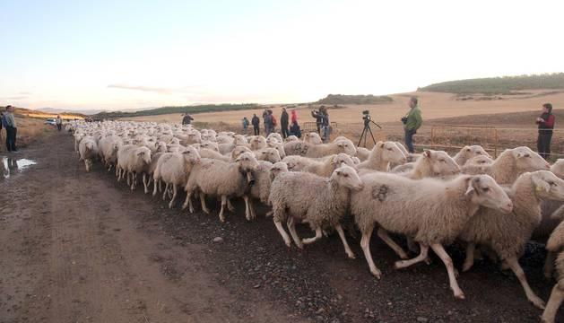 Imágenes de la entradas de las ovejas a las Bardenas Reales en un homenaje a trashumancia.