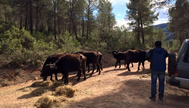 La Guardia Civil investiga la decapitación de un bisonte en una reserva valenciana