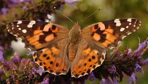 Mariposa de la especie Vanessa cardui