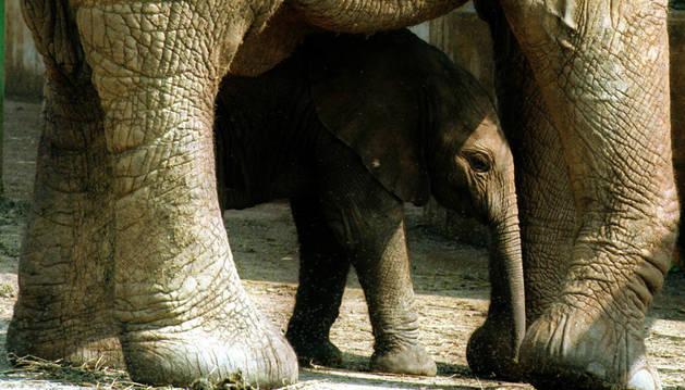 Una cría de elefante africano con su madre.