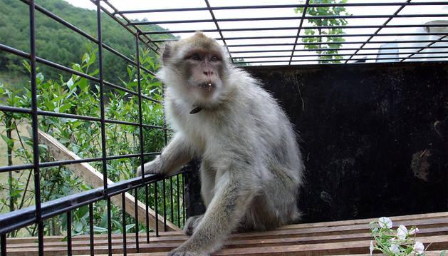 Un mono de Berbería, más conocido como el mono de Gibraltar.