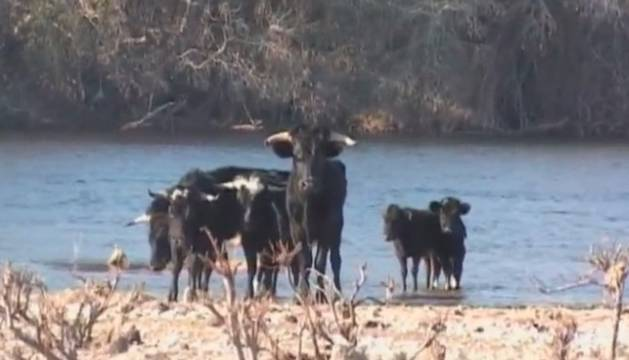 Toros en la Isla de los Toros, en Tarragona.