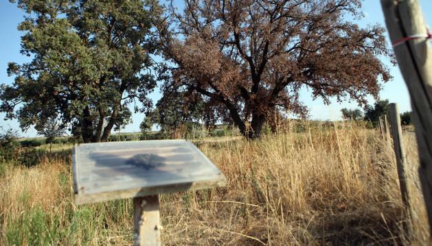 Dos de las tres encinas de Corella, con la que se ha secado a la derecha, y el cartel informativo que señala que son Monumento Natural.