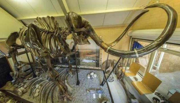 El esqueleto del mamut lanuda en una exposición.