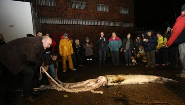 Calamar gigante hallado en 2015 en Asturias