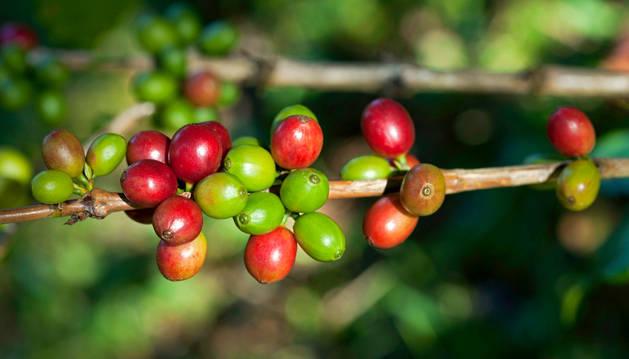 Imagen de granos de una planta de café.
