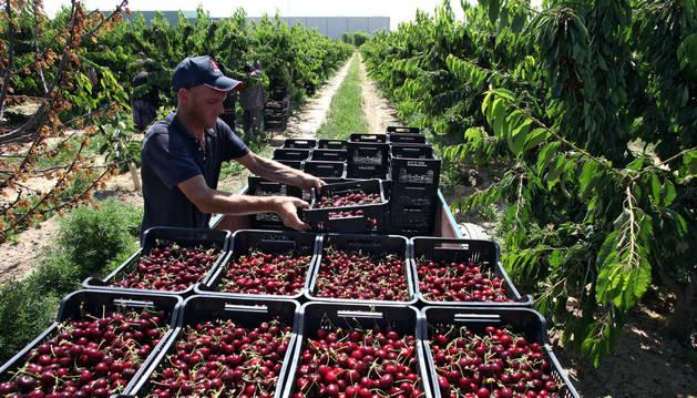Un trabajador en la recogida de cereza.