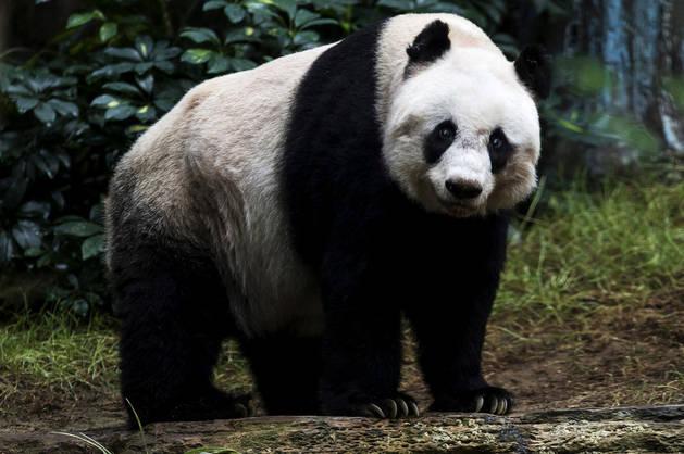 El oso panda Jia Jia en el parque de atracciones de Hong Kong hace un año.