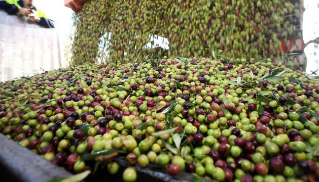 Inicio de la campaña de recogida de olivas en la Ribera