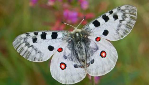La mariposa Apolo.