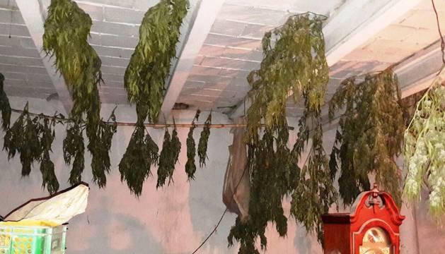 Parte de las plantas intervenidas, en proceso de secado.
