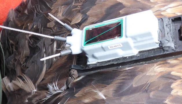 Un macho de águila real, radioequipado para conocer afecciones de la red eléctrica