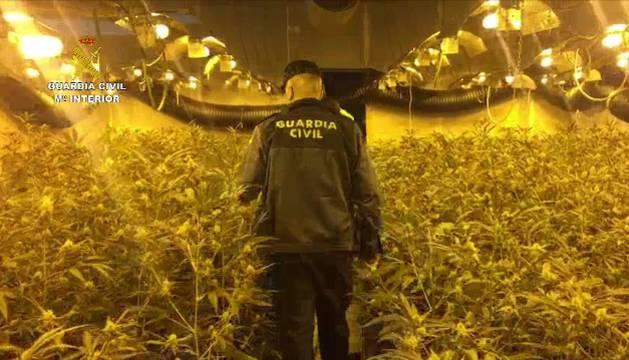 Un guardia civil junto a la plantación de marihuana encontrada.