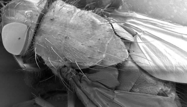 Imagen de una mosca, aumentada 25 veces de una muestra original de un milímetro.