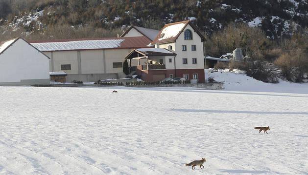 Los tres zorros (el más alejado está junto a la casa) vagando por el paisaje helado de Abaurrea Alta.