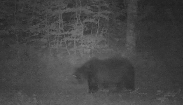 Imagen nocturna de un oso tomada por una cámara automática de Medio Ambiente este verano. Se desconoce si es 'Neré' o 'Cannelito'.