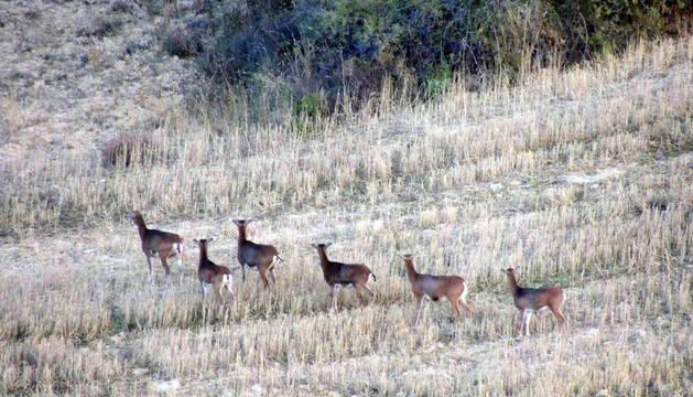 Muflones en la Zona Media de Navarra.