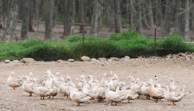 Patos al aire libre.