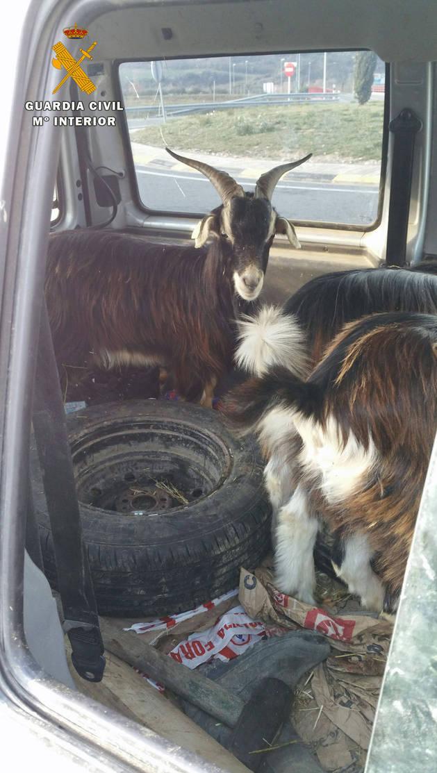 Las cabras viajaban en la parte posterior de la furgoneta.
