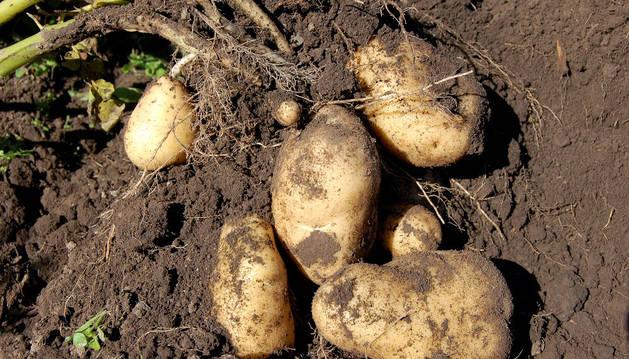 Imagen de un cultivo de patatas.