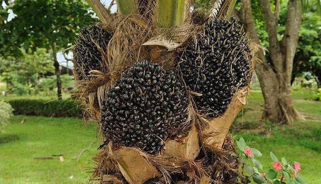 La palmera 'Elaeis guineensis' y sus frutos de donde se extrae el aceite.