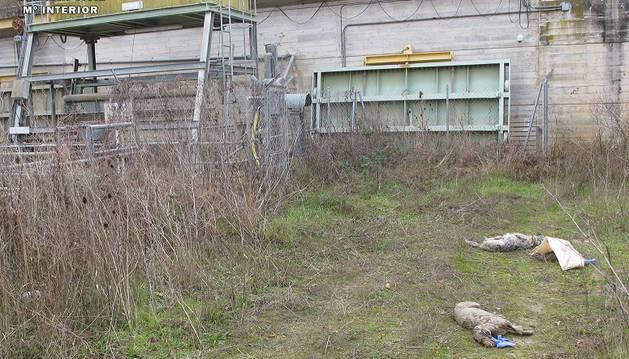 Imagen de las dos perras muertas en Gallipienzo.