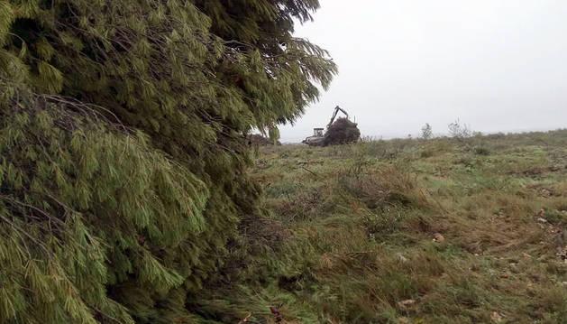 Gurelur denuncia la tala de pinares realizada en parajes de Tudela