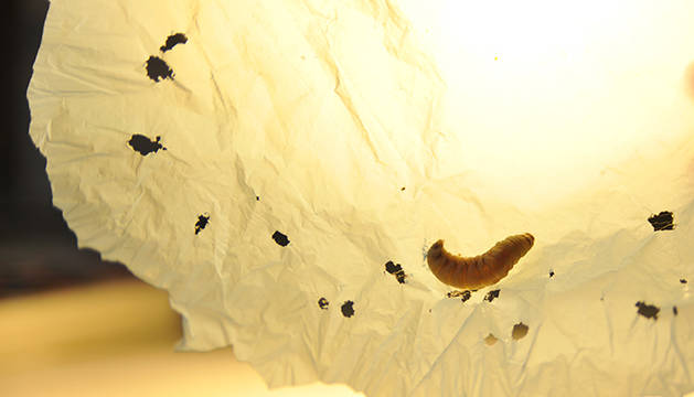Imagen de un gusano de cera