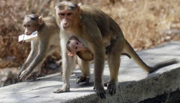 Los monos aprovechan a vivir junto a las comunidades humanas en la India